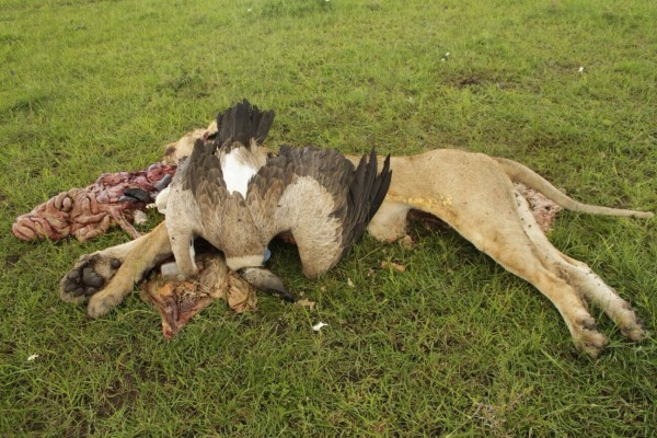 Poisoned-Marsh-Pride-lion-and-White-backed-Vulture.-Masai-Mara-National-Reserve-Kenya.-Photo-by-L.-Sankai-600x400